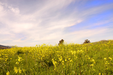 springtime Wild mustard in bloom in california