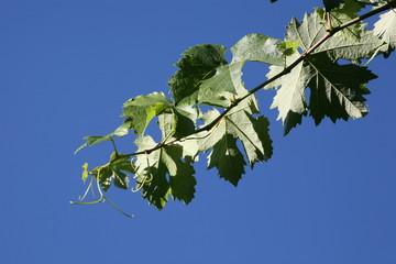 Blue sky vinia