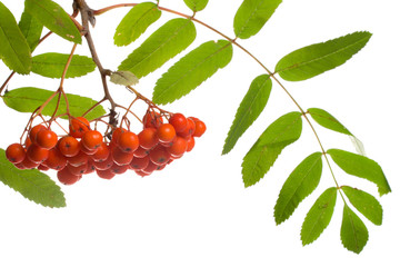 close-up ashberries with leafs, isolated on white