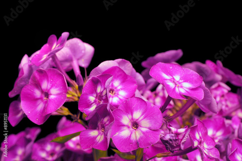 Cluster of phlox paniculata against a black background