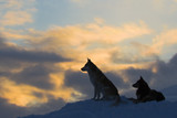 Silhouettes of two wolves (dogs) against a decline - Fine Art prints