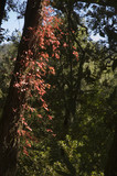 Poison oak climbing up a tree poster