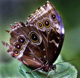 Common Blue Morpho, morpho peleides butterfly on green leaf poster