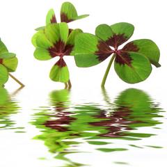 trèfles porte-bonheur à quatre feuilles