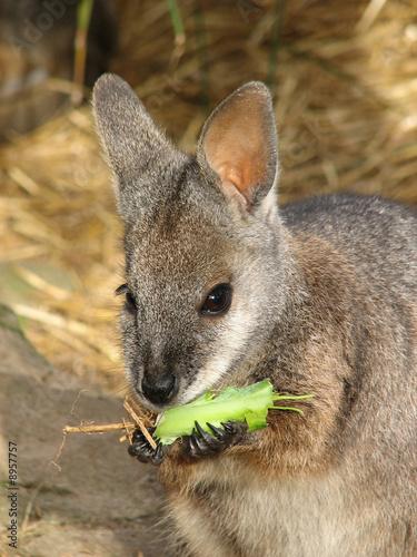 Fotobehang Kangoeroe wallaby