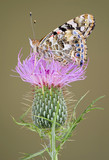 painted lady on swamp thistle poster