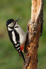 Great spotted woodpecker searching for food on a branch