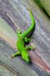 roleta: Madagascar gecko in Zurich Zoo (Switzerland)