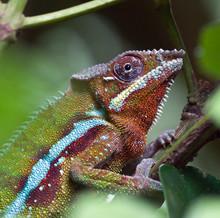 Madagascar Chameleon in Zurich Zoo (Switzerland)