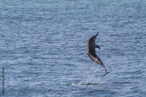 Dauphin qui saute hors de l 39 eau photo libre de droits for Koi qui saute hors de l eau