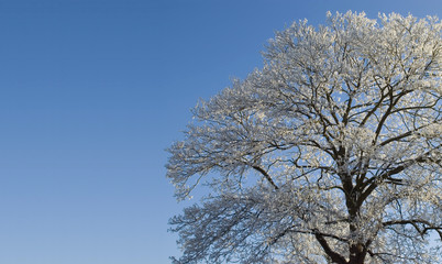 Treecovered with snow and blue sky background