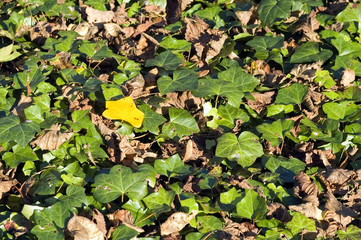 Yellow leaf between green leafs