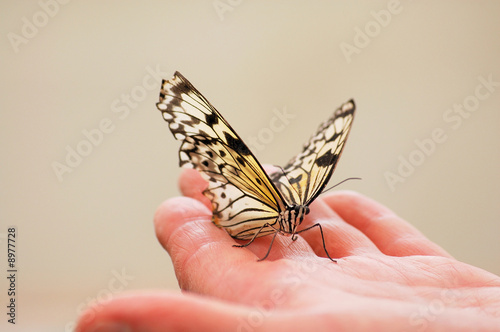 Wood Nymph butterfly