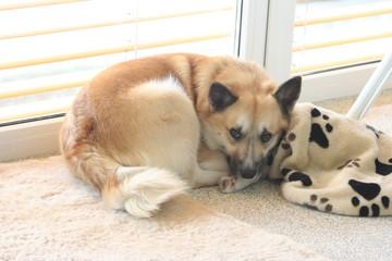 487 - Islandhund