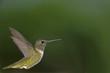 Leinwandbild Motiv Hummingbird profile