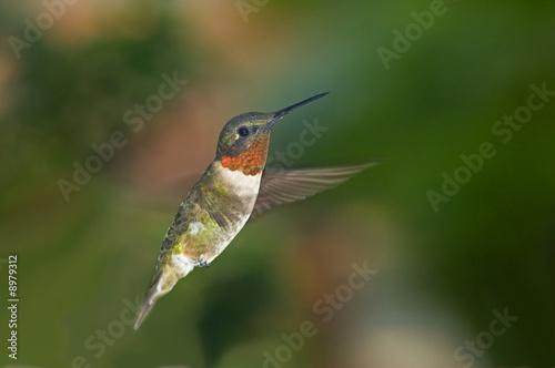 Leinwanddruck Bild Mid-air flight of hummingbird