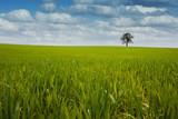 maïs culture arbre ogm céréale chamsp agricole vert bio champs poster