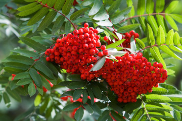 Branch of a mountain ash with ripe berries