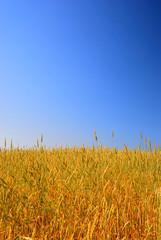 A wheat field against a blue sky.