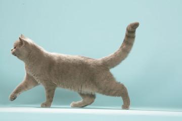 chat british shorthair qui marche prudemment