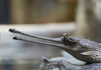 Indial gavial - endangered species
