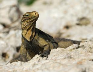 Wild Golden Iguana