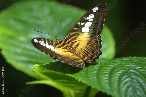Clipper Butterfly, open wings, green leaf