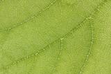 Green leaf vein macro, crisp and pure poster