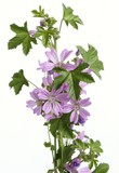mallow herb with lila flowers poster