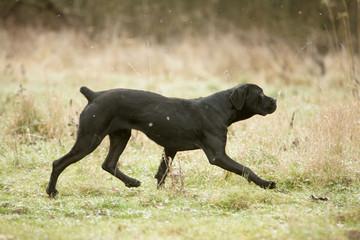 chien cane corso au trot