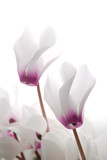 close-up of soft white and pin cyclamen persicum