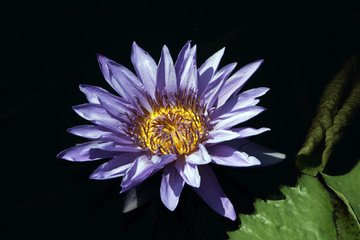 A Longwood Hybrid Aquarius Waterlily