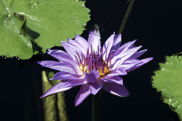 A Longwood Hybrid Aquarius Waterlily with a Dragonfly