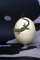 lucertola reptile