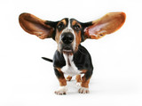 a basset hound with his ears flying away poster