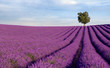 Rich lavender field in Provence with a lone tree - 9059586