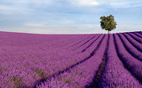 Fototapety Rich lavender field in Provence with a lone tree