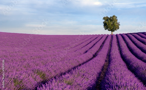 Rich lavender field in Provence with a lone tree