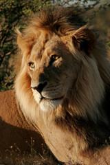 African lion (Panthera leo), Kalahari desert, South Africa