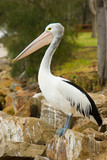 An Australian Pelican stands proud on rocks poster