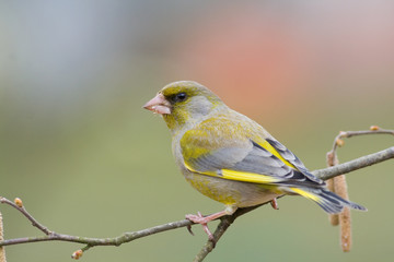 bird - greenfinch2