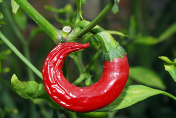 An isolated shot of a red pepper growing on a plant
