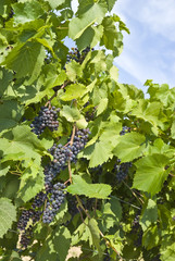 Baco Noir Grapes Hanging on the Vine