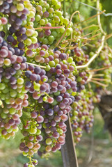 Ripening Cabernet Sauvignon Grapes Hanging on the Vine