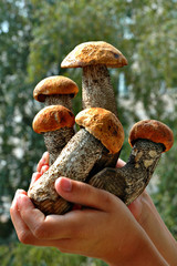 Young aspen mushrooms in hands of the child