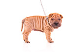 Sharpei dog on a leash against white background poster