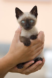 Precious little Siamese cat caught between hands poster