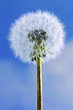 Dandelion close up on blue sky background