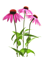 Blooming medicinal herb echinacea purpurea or coneflower