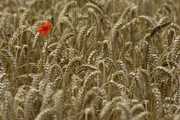 Poppy among the wheat